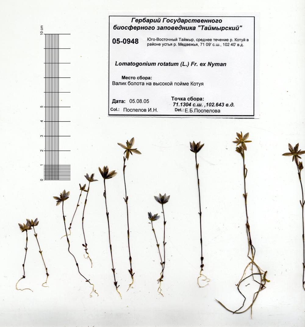 http://byrranga.ru/gentianaceae/lomatogonium_rotatum/h1.jpg