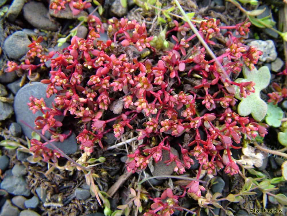 http://byrranga.ru/polygonaceae/koenigia_islandica/04.jpg